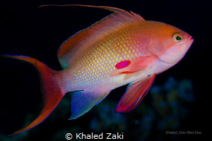 Lyretail anthias by Khaled Zaki
