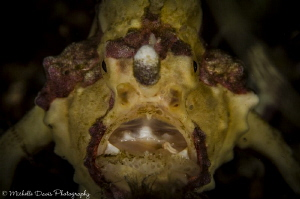 Warty Frogfish, Nikon D7000 by Michelle Davis