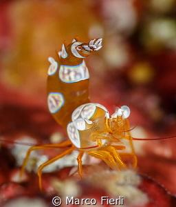 Defensive Squat Shrimp 3239x3796 by Marco Fierli
