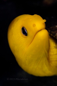 Simply Yellow, a Dwarf Golden Moray by Pat Gunderson