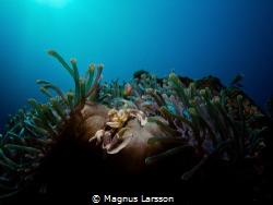 Porcelain anemone crab, Neopetrolisthes maculatus, catchi... by Magnus Larsson