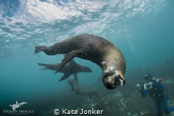 Cape Fur Seal, Duiker Island, Hout Bay - Cape Town, South... by Kate Jonker