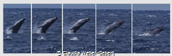 the big splash jump..........  humpbach whale by Claudia Weber-Gebert