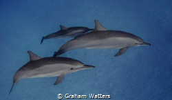 A Group of dolphins in the Red Sea by Graham Watters