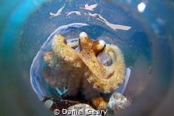 Juvenile Mototi Octopus in Grey Goose Bottle - Dauin, Phi... by Daniel Geary