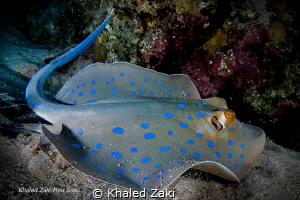 Blue spotted stingray Sharm ElShaikh by Khaled Zaki