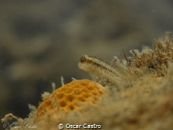 Blenny Fish! by Oscar Castro