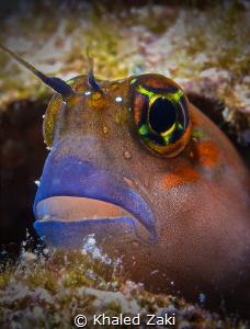 Blenny Fish -Qatar by Khaled Zaki