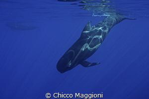 Pilot whales in Mediterranean sea by Chicco Maggioni