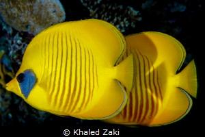Masked Butterfly Fish -Sharm El Shaikh by Khaled Zaki