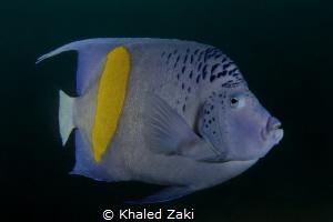Blue Angel Fish-Qatar by Khaled Zaki