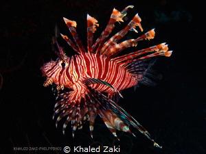 Lion Fish - Philippine by Khaled Zaki
