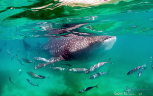 "Entourage - this ""small"" whale shark was happy to stick a... by Robin Bateman"
