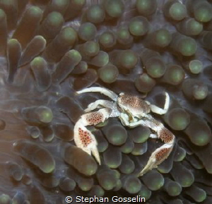 Porcelain crab. Not so easy to find anymore. by Stephan Gosselin