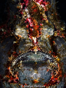 Shine On. Giant Frogfish - Antennarius Commerson. Bali, I... by Stefan Follows