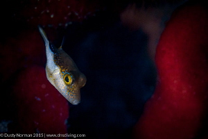 """""""Puffer Face"""" A Sharpnose Puffer with a Red Rope Sponge ... by Dusty Norman"""
