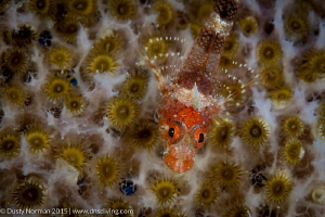 """""""Field of Flowers"""" A Triple Fin Blenny resting on a Pink... by Dusty Norman"""