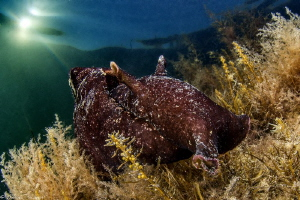 sea hare (Thau lagoon) by Mathieu Foulquié