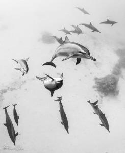 Spinner Dolphin pod by Steven Miller