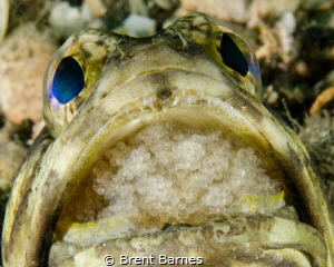 A male jawfish incubating a brood of eggs in West Palm Be... by Brent Barnes