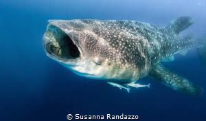 whale shark by Susanna Randazzo