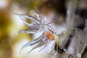 Eubranchus sp. by Wayne Jones