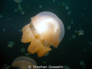 Stingless jellyfish in Jellyfish Lake, Palau. by Stephan Gosselin