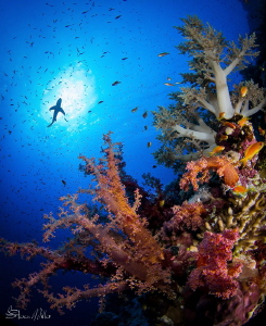 Red Sea corals by Steven Miller