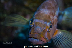 smart little guy....... young grouper coming close by Claudia Weber-Gebert