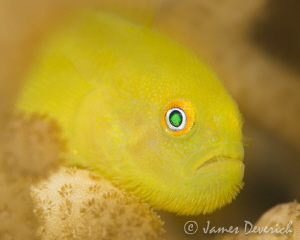 Yellow Mo-vember / Bearded Goby by James Deverich