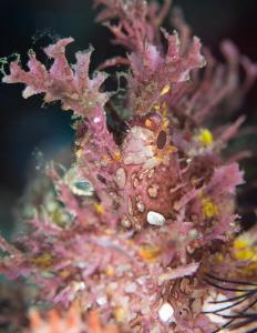 Lacy Scorpion Fish by James Deverich