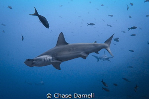 """""""Hammer Train"""" Hammerheads coming in for a closer look! by Chase Darnell"""