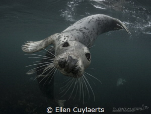 Playful seals in Farne Islands! by Ellen Cuylaerts