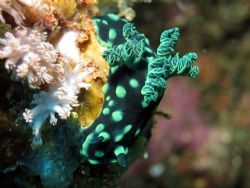 Nudi taken at Bli, Indonesia by Dennis Siau