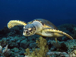 Hawksbill turtle feeding time by Laura Dinraths