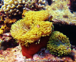 Taken on a house reef in shallow water,approx 5m. pretty ... by Jamie Lonsdale