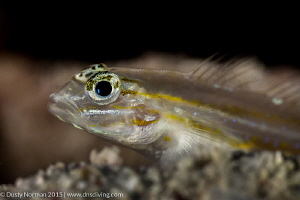 """""""Sandy Details"""" A close-up of a Sand Gobe. by Dusty Norman"""