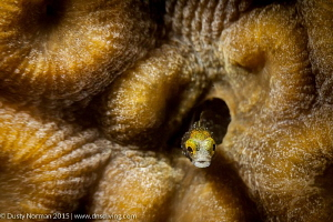 """""""Texture Blenny"""" A Secretary Blenny with a texture fille... by Dusty Norman"""