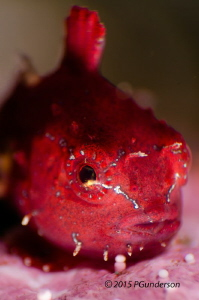 Little Red Pacific Spiny Lumpsucker by Pat Gunderson