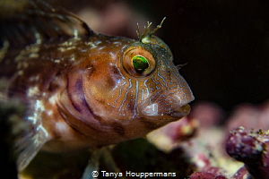 Emerald Eyes A small blenny in the waters off of Clearwa... by Tanya Houppermans