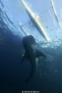 Whale shark Oslob .Filippine Nikon D800E, 17-35mm . No... by Marchione Giacomo