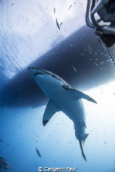 Great white shark in Guadalupe island, Mexico by Cangemi Paul