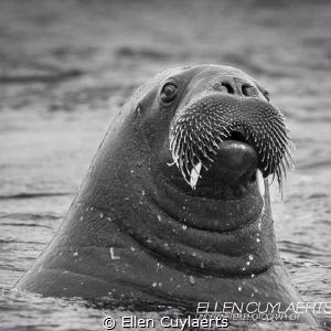 Fins up Walrus in Svalbard by Ellen Cuylaerts