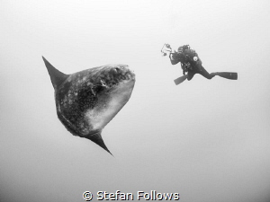 Suspension. Southern Ocean Sunfish - Mola ramsayi. Gilli ... by Stefan Follows