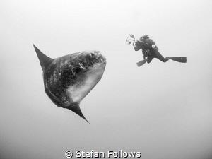 Suspension. Southern Ocean Sunfish - Mola ramsayi. Gilli ... by Stefan Follows