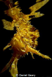 Sargassumfish (Sargassum Frogfish) swimming at the surfac... by Daniel Geary