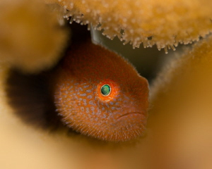 Red Bearded Goby by James Deverich