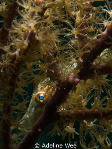 A slender filefish playing peek-a-boo from its hiding place. by Adeline Wee