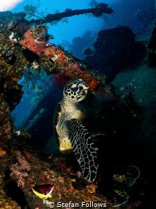 Aye Captain! Hawksbill Turtle - Eretmochelys imbricata. L... by Stefan Follows