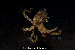 Blue-Ringed Octopus riding in the current. Dauin, Philipp... by Daniel Geary
